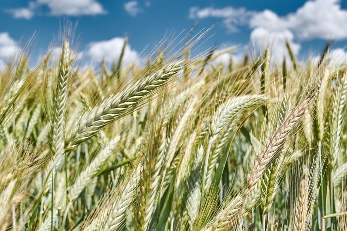 el trigo y la cizaña jesuita
